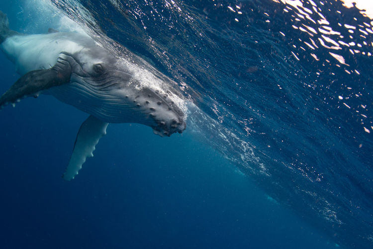 View of humpback whale swimming in the pacific ocean near tonga.