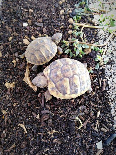 Two little tortoises Turtle Turtles Earth Animal Life Environment Sunlight Animal Themes Pets Cute Animals Baby Tortoise Animals Exotic Pets Close-up Shell Tortoise Slow Crawling Tortoise Shell Animal Shell Ground