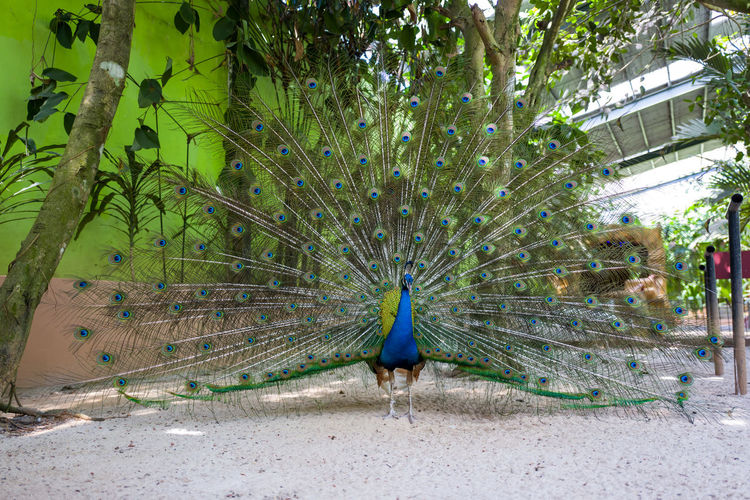 Langkawi Peacock Animal Animal Themes Animal Wildlife Bird One Animal Animals In The Wild Tree Vertebrate Plant Male Animal Nature Day No People Feather  Green Color Beauty In Nature Peacock Feather Fanned Out Outdoors Peackock