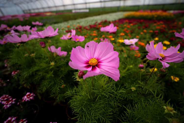 Close-up of pink cosmos flowers in park