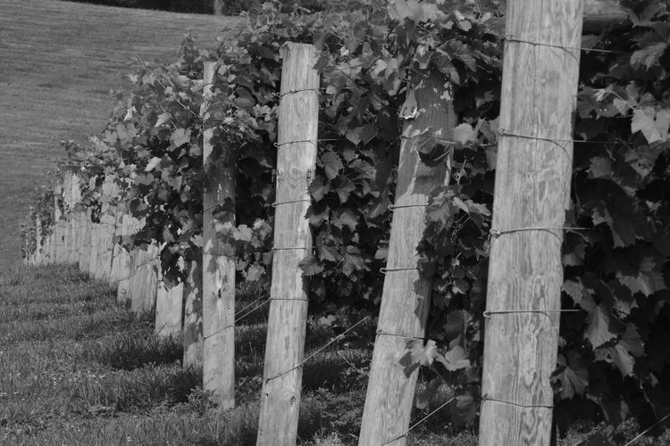 Beauty In Nature Blackandwhite Day Flower Growth Landscape Nature No People Outdoors Pattern Plant Shadow Tree Tree Trunk Vineyard