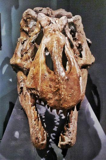 Tyrannosaurus Rex Skull 28 Of 365