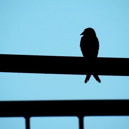The solitary bird Silhouette Clear Sky Outdoors Animal Themes Dawn Bird Photography Bird Sky Blue Sky Blue No People