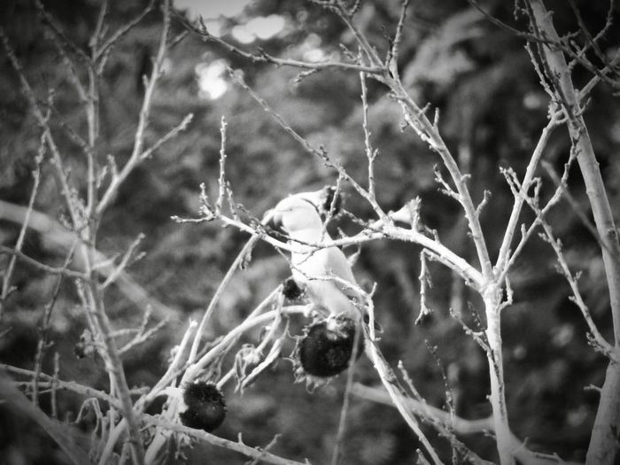Parakeet In White Light Sunny Parakeet Summer Parakeet Psittacula Krameri Bird Posing One Parakeet Unvulnerable Twigs Blended Sunflowers Old Plant Scenic Outdoor Past Styled Black And White Black And White - Birds