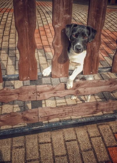 Dog peeks out from a fence Dog Pets One Animal Domestic Animals Mammal Animal Themes Wood - Material Portrait Outdoors Looking At Camera Day Puppy Sitting No People