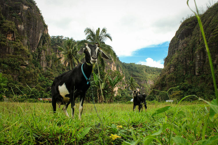 Goat in the harau valley geopark area