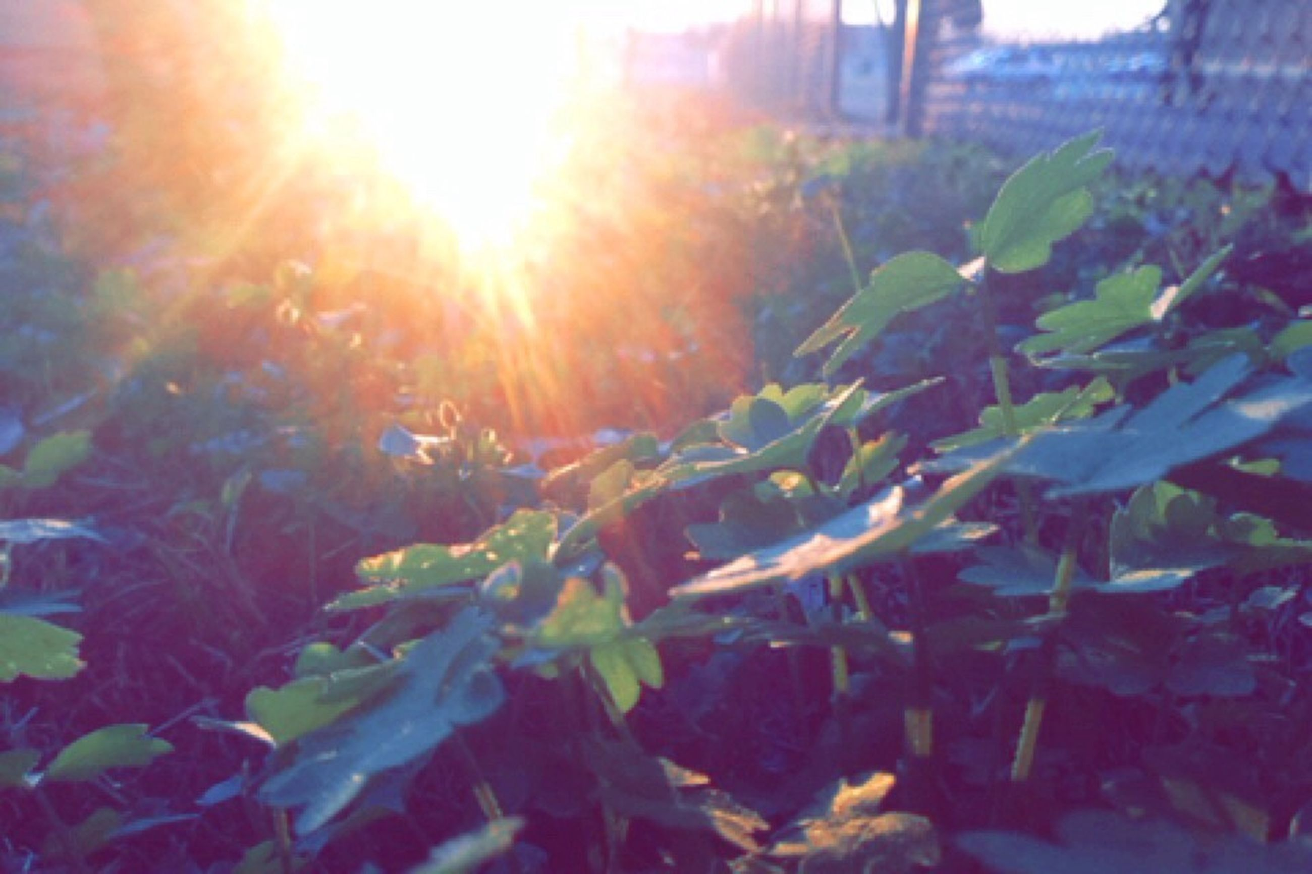 sun, sunbeam, leaf, growth, sunlight, lens flare, plant, nature, beauty in nature, tree, tranquility, green color, sunny, close-up, day, outdoors, growing, no people, focus on foreground, sunset