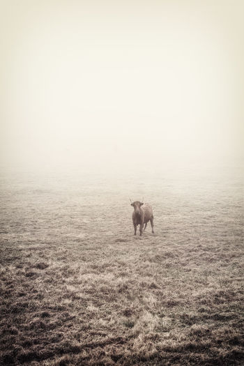 RBull Alone Bull EyeEm Best Shots EyeEm Nature Lover EyeEm Gallery EyeEmBestPics Farm Farm Life Farm Animals Grass Minimalist Nature Nature Photography Dark Nature Farm Animal Fog Foggy Foggy Morning Landscape Landscape_photography Minimalism Minimalistic Minimalistic Nature Nature_collection Nature_perfection