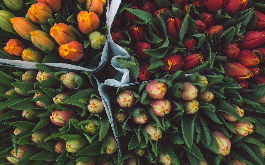 Netherlands Abundance Backgrounds Beauty In Nature Bouquet Bunch Of Flowers Close-up Day Flower Flower Arrangement Flower Head Flowering Plant Fragility Freshness Full Frame Green Color High Angle View Inflorescence Nature No People Petal Plant Tulip Vulnerability