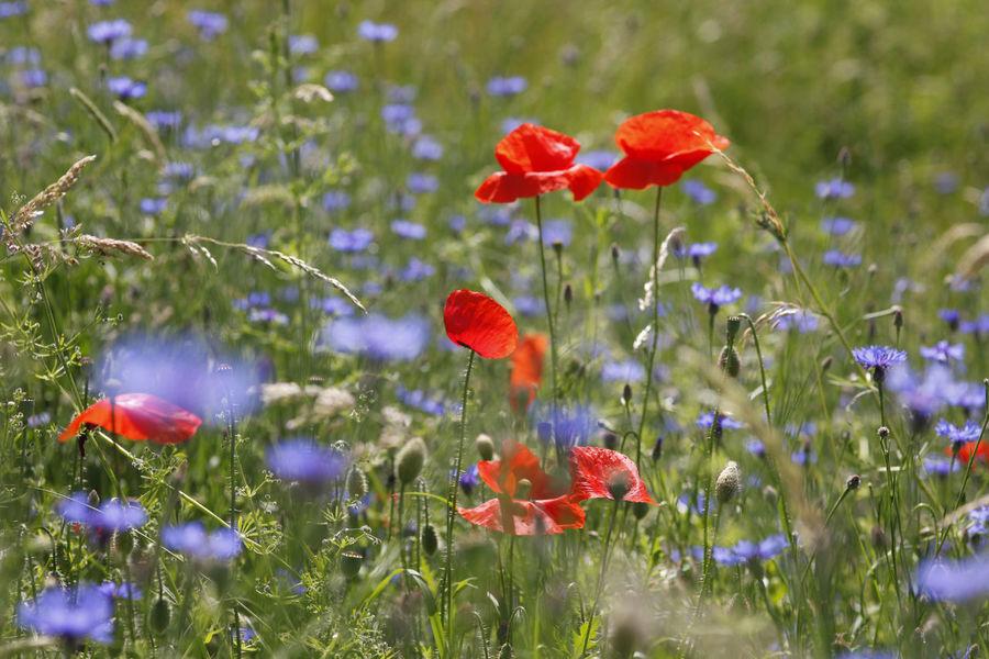 Mohnblumen,Germany Flower Flowers Garden Garden Photography Kornblume Mohnblume Mohnblumen Red Summer Summertime