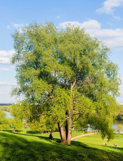 Tree Plant Green Color Sky Growth Grass Beauty In Nature Tranquil Scene Field Cloud - Sky Land No People Day Environment Nature Tranquility Landscape Idyllic Scenics - Nature Outdoors