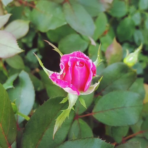 Just before Euphoria ... Pink Rose Bud Flower Head Flower Leaf Pink Color Petal Close-up Plant Pale Pink In Bloom Blossom Bud