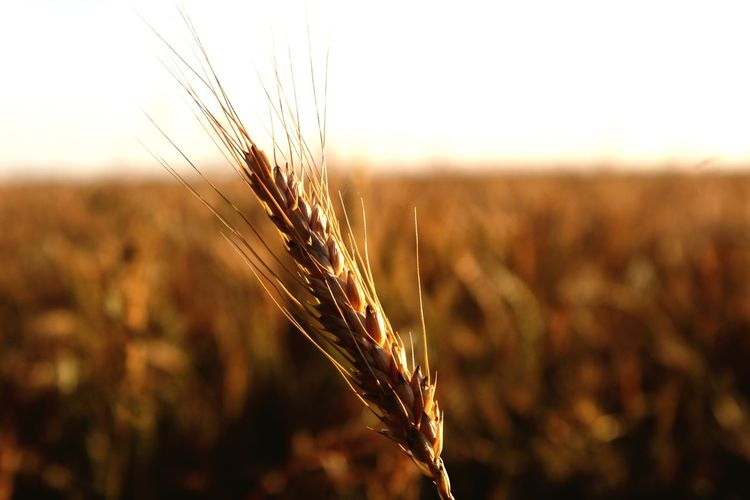 Cereal Plant Crop  Agriculture Field Farm Rural Scene Growth Wheat Nature Close-up No People Gold Colored Focus On Foreground Plant Sunset Tranquil Scene Outdoors Landscape Ear Of Wheat Scenics