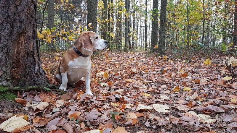 Beagle Moritz Dog One Animal Animal Themes Pets Domestic Animals Day No People Mammal Outdoors Nature