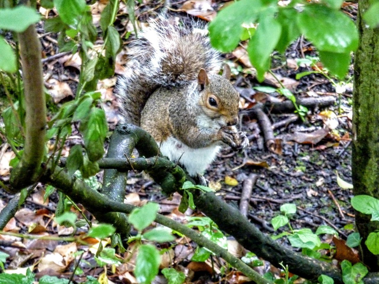 one animal, nature, squirrel, animals in the wild, outdoors, animal themes, day, no people, eating, animal wildlife, leaf, forest, mammal, plant, growth, close-up, beauty in nature