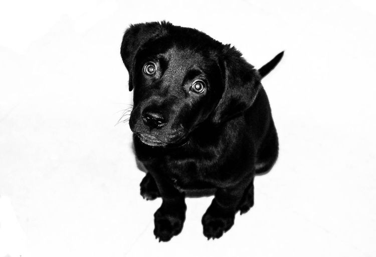 Canine One Animal Pets Dog Domestic Animals Mammal Domestic Vertebrate Black Color Portrait Indoors  No People Looking At Camera Sitting Puppy Looking Close-up