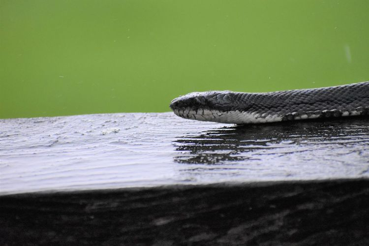 Black Rat Snake Pantherophis Obsoletus Snake Animal Animal Body Part Animal Head  Animal Scale Animal Themes Animal Wildlife Animals In The Wild Close-up Crocodile Day Lake Marine Nature No People One Animal Outdoors Reptile Selective Focus Snake Head Swimming Vertebrate Water