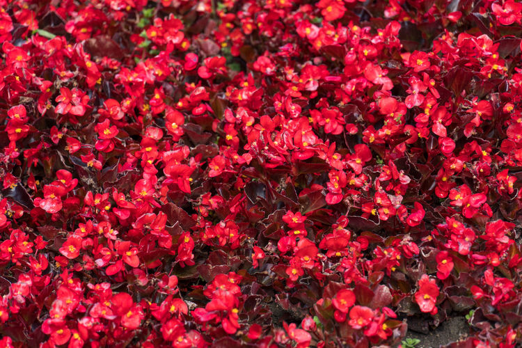 Full frame shot of red flowering plants