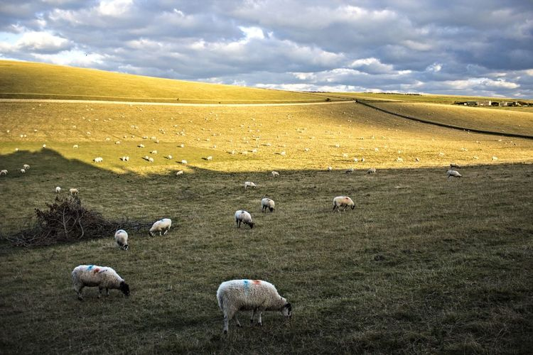 Agriculture Animal Themes Bale  Beauty In Nature Cloud - Sky Day Domestic Animals Farm Field Flock Of Sheep Grass Landscape Large Group Of Animals Livestock Mammal Nature No People Outdoors Rural Scene Scenics Sheep Sheeps Sky