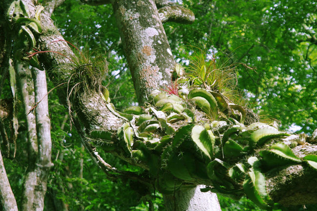 Tillandsia - Jungle impression - Yaxha - Guatemala Branch Day Forest Forest Photography Green Color Growth Jungle Nature Nature Nature_collection No People Outdoors Plant Tillandsia Tree Tree Trunk