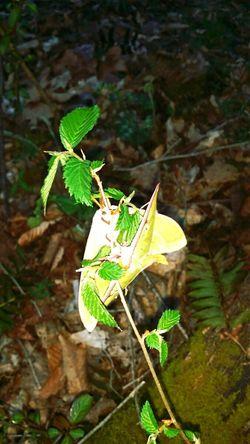 Moth Luna Moth Bugs Mating Pair Of Butterfly Moths
