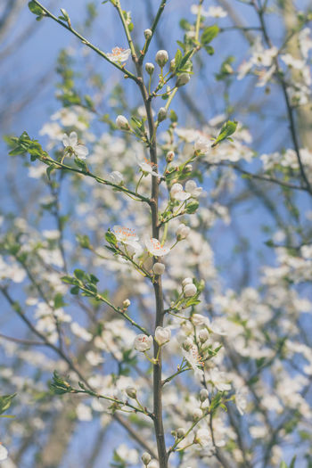 Plant Flower Flowering Plant Growth Branch Beauty In Nature Fragility Tree Vulnerability  Freshness Day Close-up Nature No People Selective Focus Blossom Springtime White Color Outdoors Spring Cherry Blossom