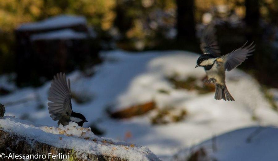 Bird Bird Photography Snow Cold Flying Ornithology  Watching Photography Photooftheday Wood Engadin Mountains Zoology Sky