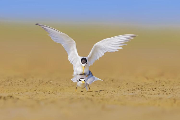 【白额燕鸥】雄鸟求爱的过程漫长而