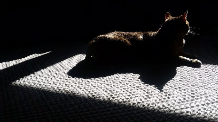 Bengal Cat Cat