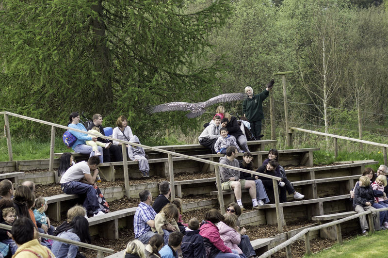 People watching the Birds of Prey show in the Blair Drummond Safari Park in Scotland. The show highlights some large predator birds such as Owls,Hawks, Kites, Falcons, and Vultures. The birds fly near the seated audience, adding a thrilling moment to the show when a large bird swoops close to the person such as when this large bird is flying over the audience, sometimes getting close to the people sitting underneath. Bird Show Birds Of Prey Large Bird Large Group Of People Men Nature Outdoors People People Sitting People Sitting On Benches Real People Scotland Spectators Tree Women Wooden Benches