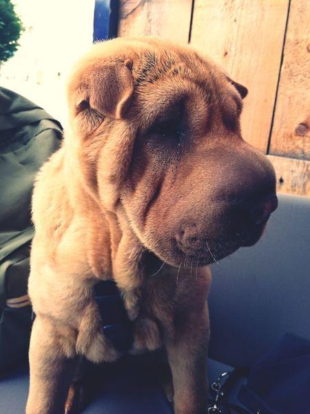 Animal Photography Sharpei Dogs Of EyeEm
