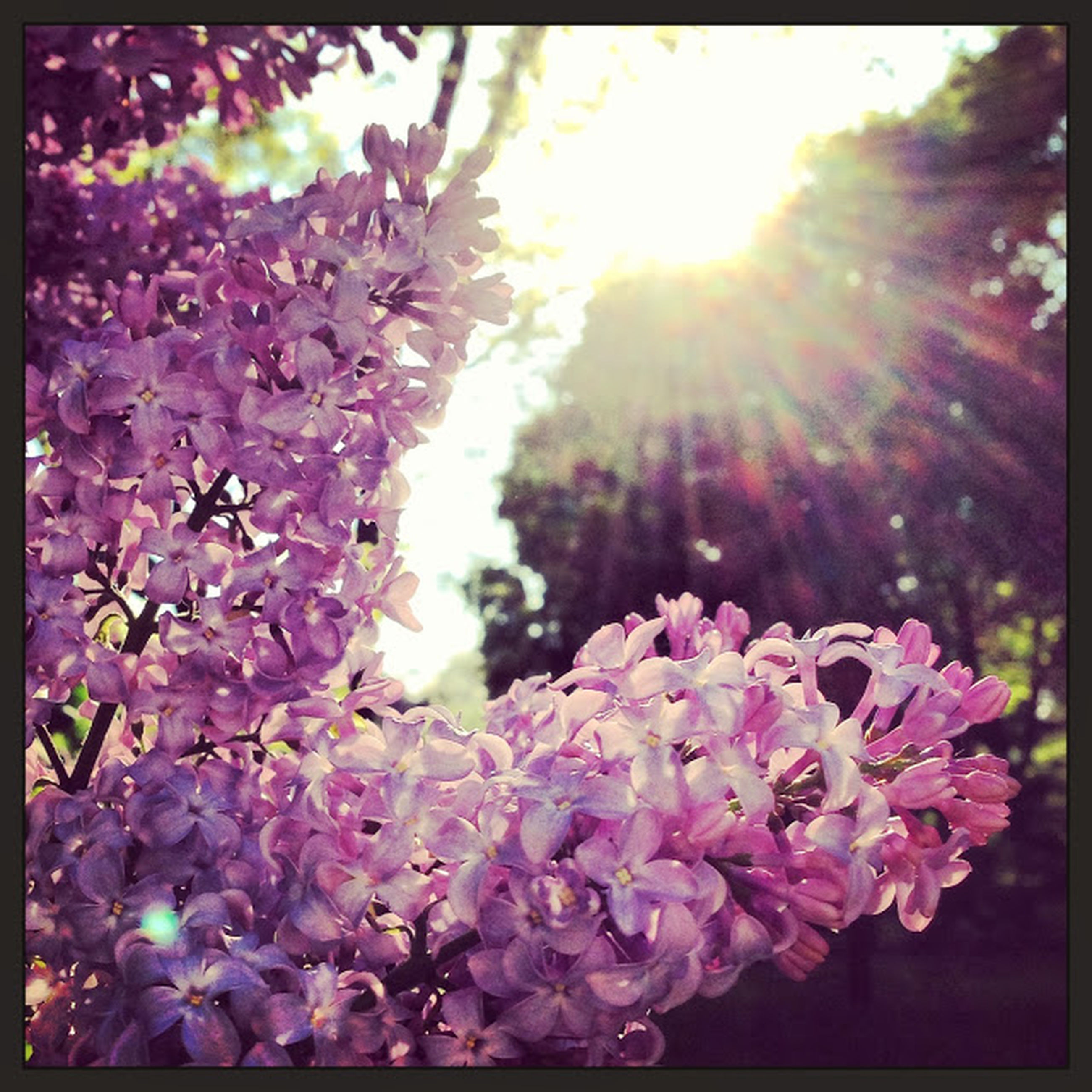 flower, freshness, fragility, growth, petal, sunbeam, sun, sunlight, transfer print, beauty in nature, blooming, pink color, lens flare, tree, nature, in bloom, auto post production filter, blossom, plant, flower head