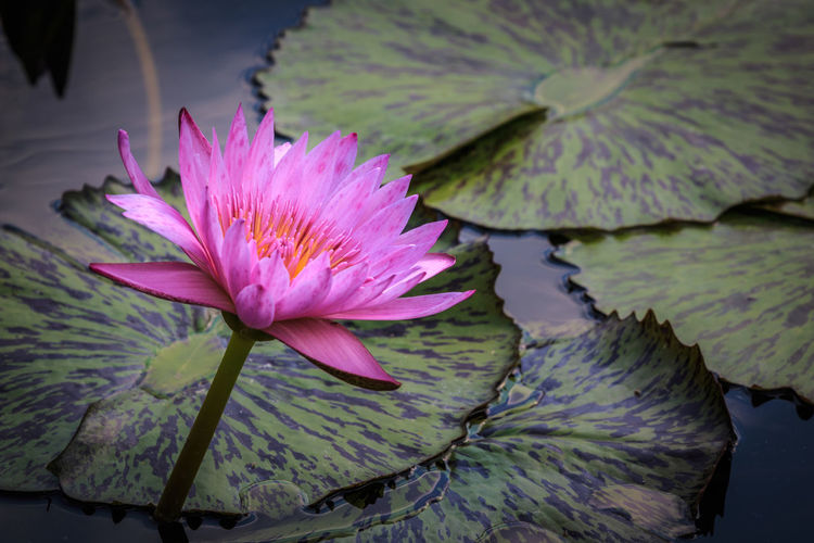 Pink water lily Flower Flowering Plant Water Lily Plant Water Freshness Petal Vulnerability  Fragility Beauty In Nature Inflorescence Pond Flower Head Leaf Growth Close-up Plant Part Pink Color Floating On Water No People Purple Lotus Water Lily Outdoors Pollen Springtime