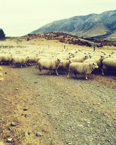 Canterbury Canterburynz Canterbury Sheep Farm New Zealand New Zealand Scenery New Zealand Beauty NZ :) Sheep Mountains