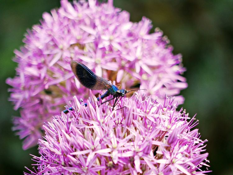 Animal Animal Themes Animal Wildlife Animals In The Wild Banded Demoiselle Beauty In Nature Butterfly - Insect Close-up Flower Flower Head Flowering Plant Fragility Freshness Growth Inflorescence Insect Invertebrate No People One Animal Petal Pink Color Plant Pollination Purple Vulnerability