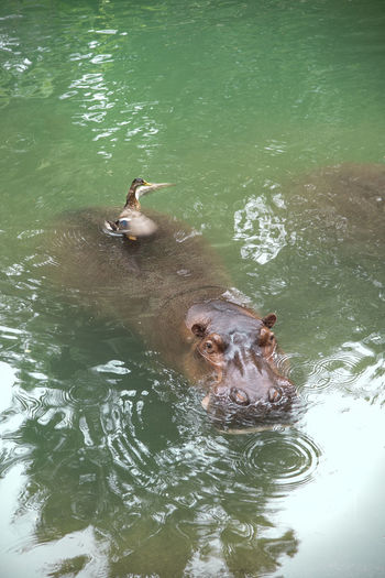 Animal Animal Themes Animal Wildlife Animals In The Wild Duck Free Ride Freeloader Hippopotamus Mammal Nature Swimming Water Wings The Great Outdoors - 2018 EyeEm Awards