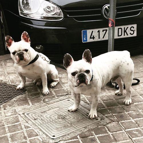 Dog Domestic Animals Animal Themes Bulldog French Bulldog Pets Mammal