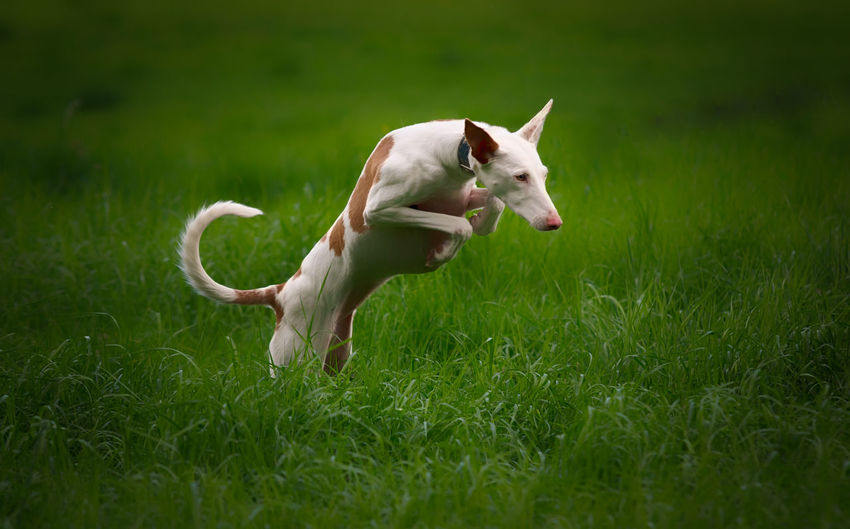Grass Domestic Domestic Animals Mammal Pets Plant Animal Animal Themes One Animal Field Vertebrate Green Color Land Dog Canine No People Nature Day Growth Running Outdoors Mouth Open Podenco Ibicenco Ibizan Hound
