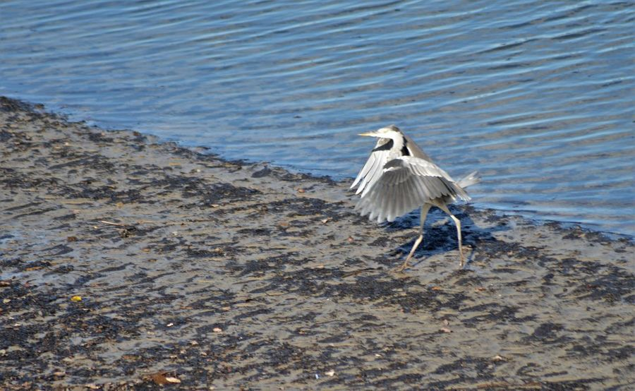 Herons on the Plym estuary in the Autum sunshine Capture The Moment Serenity Animal Themes Animal Wildlife Animals In The Wild Beach Bird Day Feather  Fishing Flap Flying Heron In Flight Lake Nature Ocean Outdoors River Sea Soaring Spread Wings Wading Water Water Bird