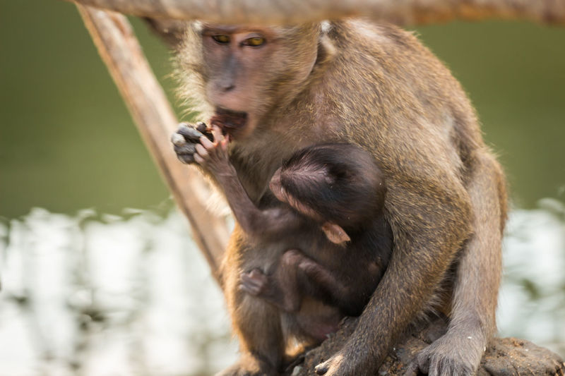 Close-up of long-tailed macaque eating food with infant in zoo