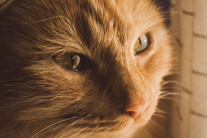 EyeEmNewHere Pets Domestic Cat Eye Feline Domestic Animals Animal Eye One Animal Portrait Animal Head  Mammal Animal Whisker Animal Themes Brown Close-up Looking At Camera Indoors  Closing No People Collar Cats Of EyeEm Cat Cat Lovers Follow