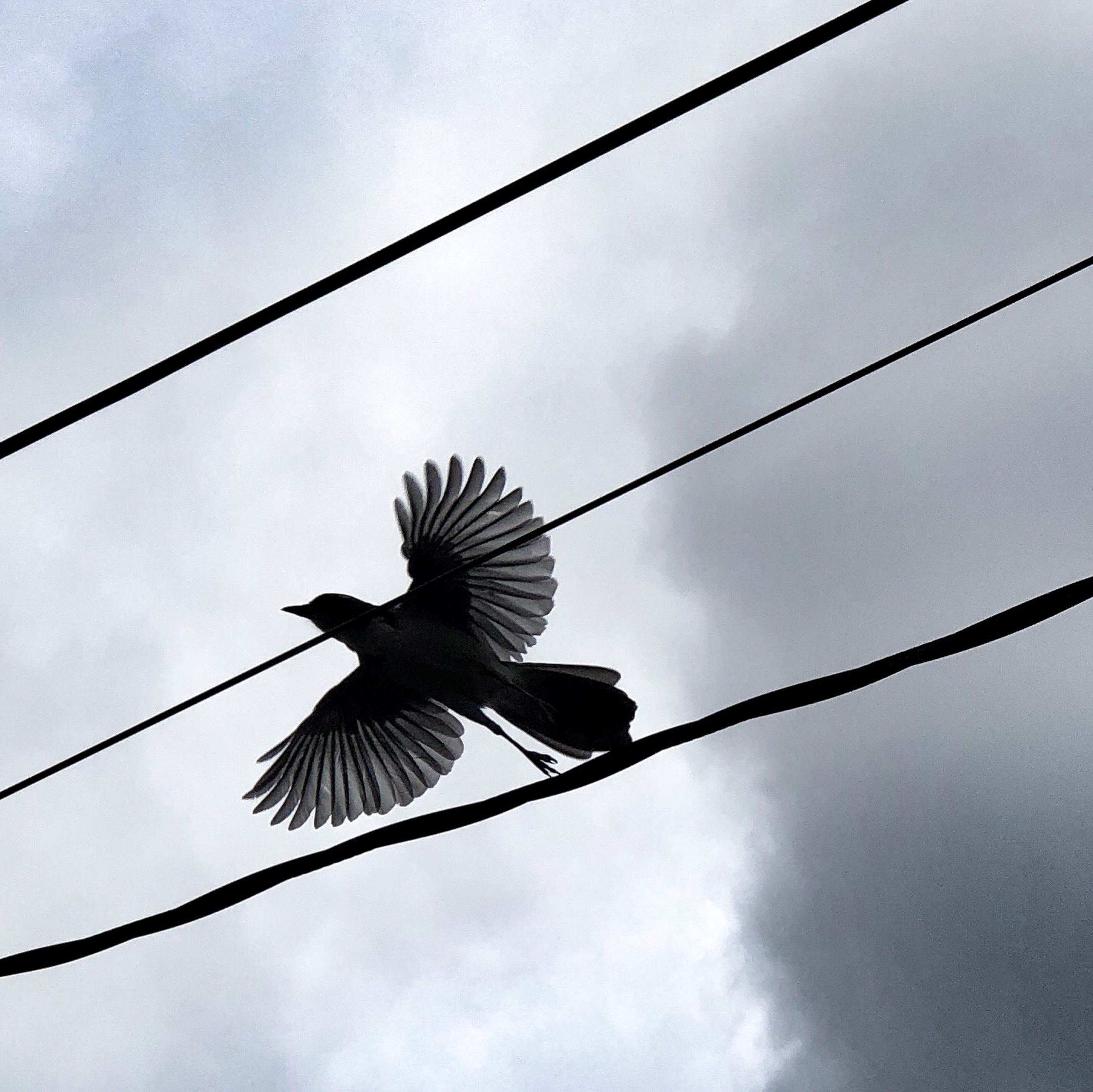 bird, animals in the wild, animal wildlife, vertebrate, animal, low angle view, animal themes, sky, flying, one animal, spread wings, cloud - sky, cable, nature, no people, day, outdoors, silhouette, mid-air, full length, power supply
