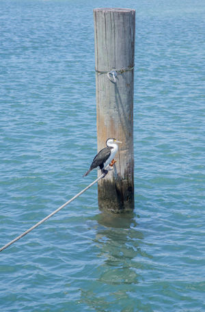 Black and white pied cormorant perched on rope line with ocean piling at Rottnest Island in Western Australia. Australian Avian Bird Black Cormorant  Indian Ocean Isolated Nautical Line Ocean One Animal Perched Person Pied Piling Profile Rope Rottnest Island Sea Sea Bird Water Bird Western Australia White Wildlife Wildlife & Nature Wooden Post