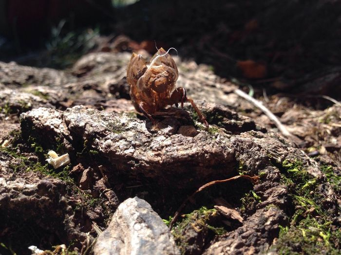 Cicada shell on rock