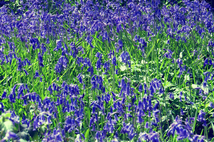 Backgrounds Beauty In Nature Blooming Blue Bell Flowers Blue Flowers Bluebell Flower Close-up Day Flower Flower Head Forest Forest Photography Fragility Freshness Full Frame Growth Nature No People Outdoors Plant Purple Wild Flowers Wild Flowers Bloom