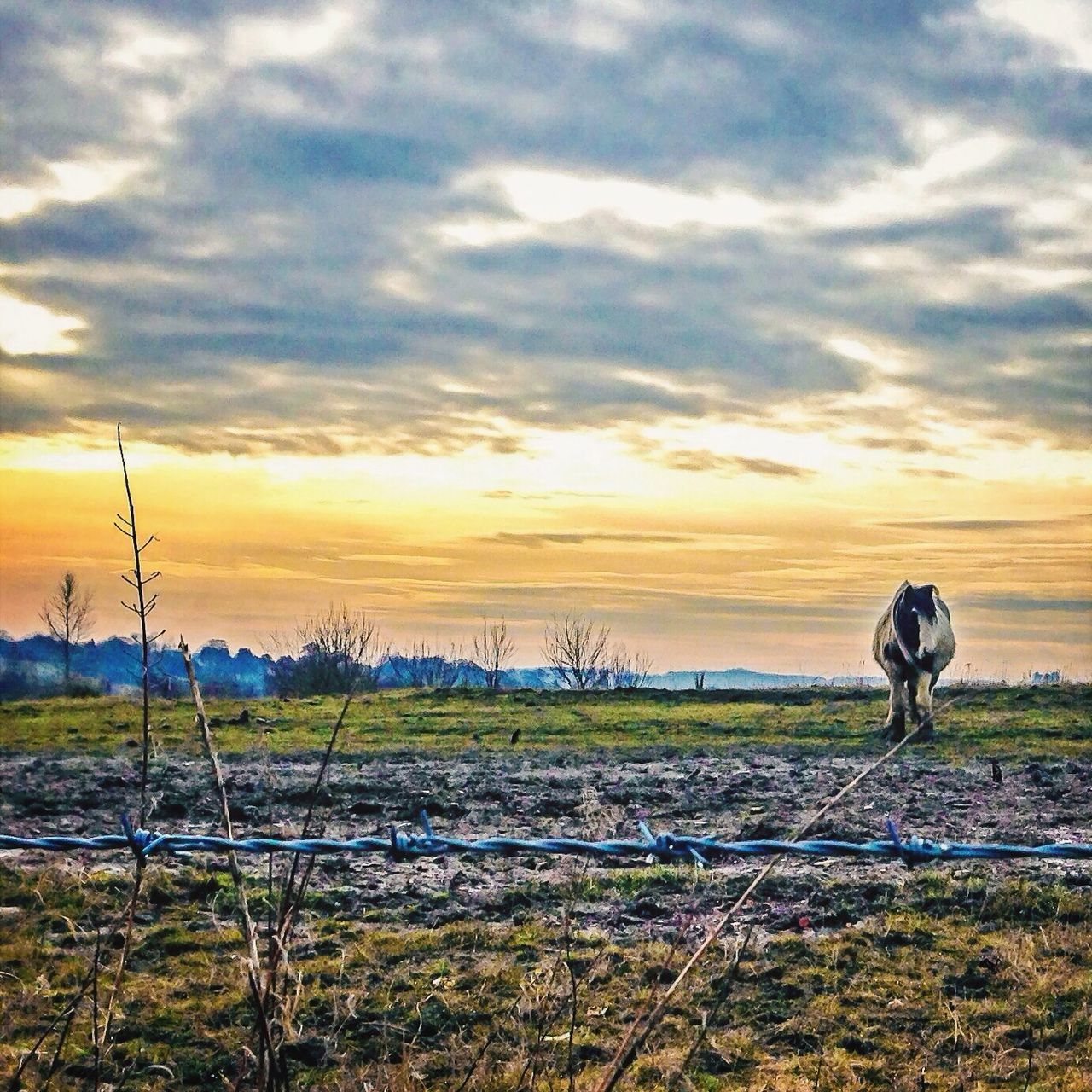 sunset, nature, sky, beauty in nature, field, cloud - sky, scenics, tranquil scene, tranquility, landscape, outdoors, growth, agriculture, no people, rural scene, day, grass, animal themes, mammal