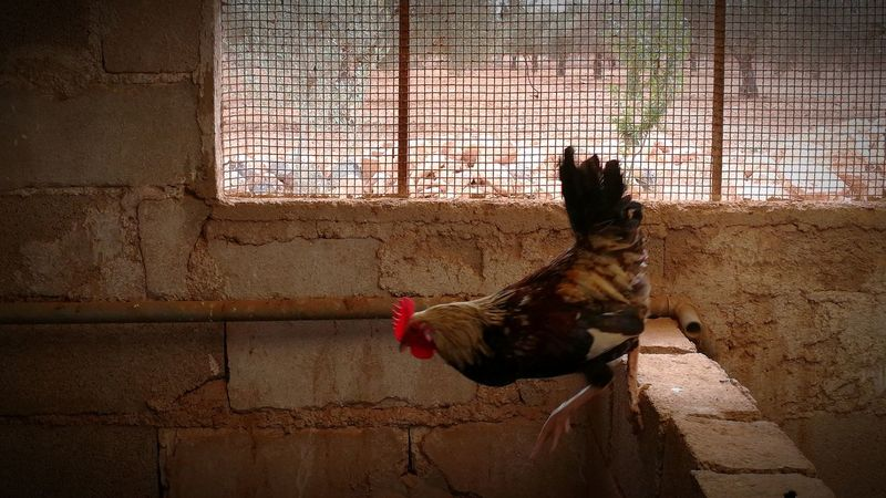 Domestic Animals One Animal Pets Animal Themes Cage Indoors  Day No People Rooster Mammal Oujda Morocco Chicken - Bird Cockerel Agriculture Close-up Architecture