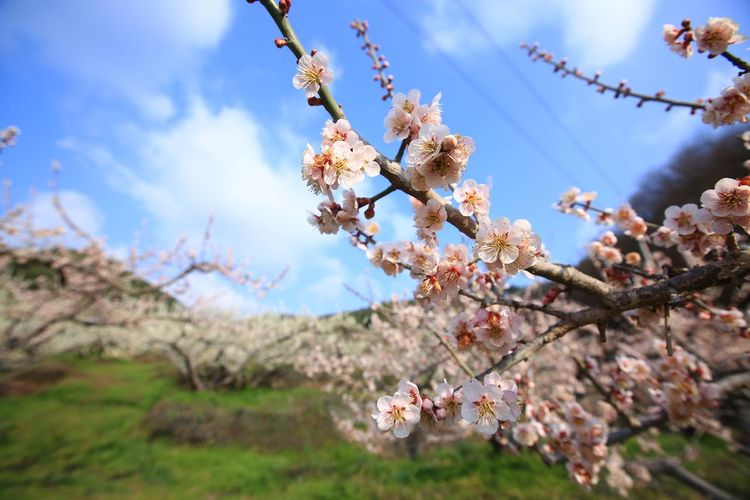 Close-up of cherry blossoms against sky