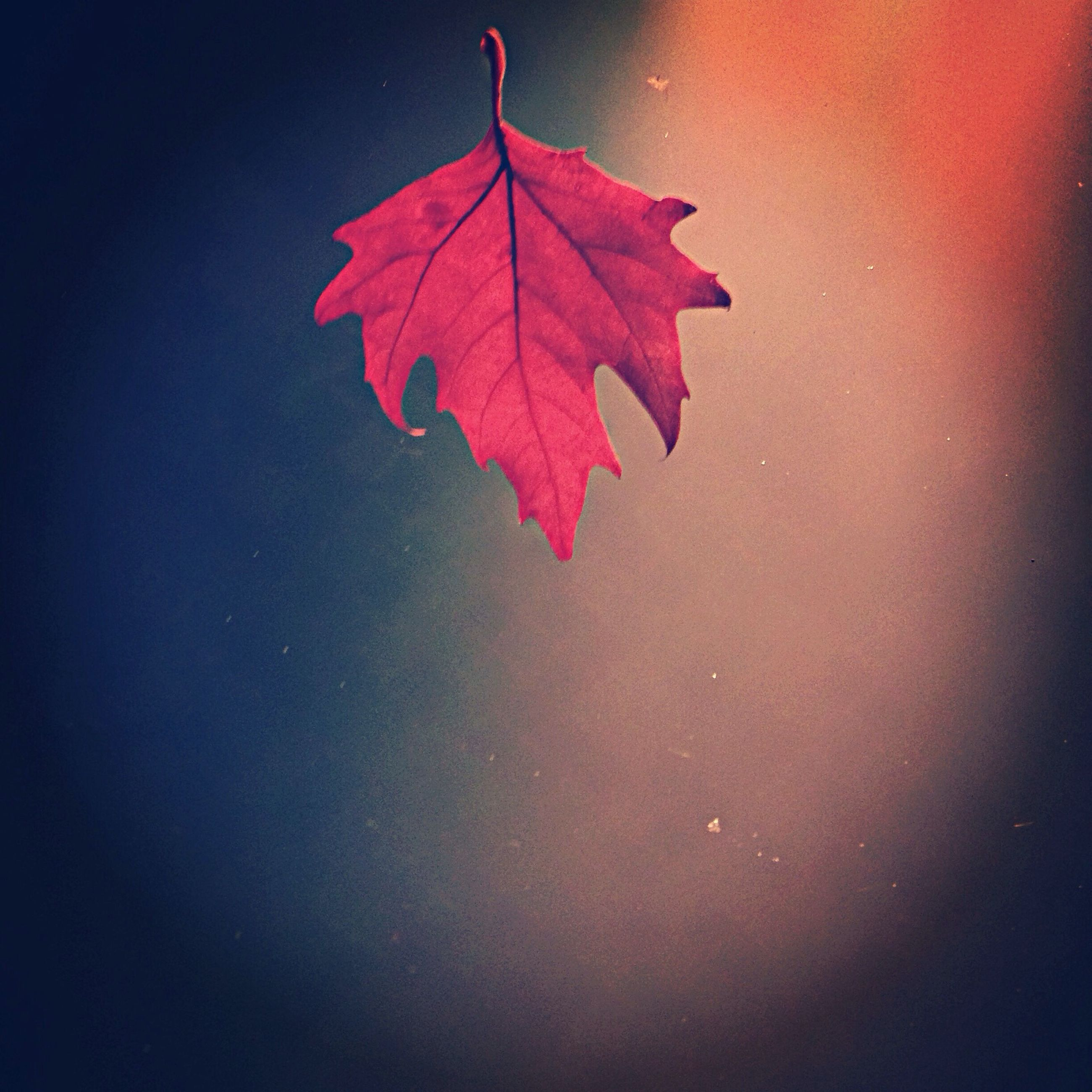 red, leaf, close-up, single object, autumn, maple leaf, star shape, no people, nature, water, outdoors, change, season, day, wet, leaf vein, studio shot, high angle view, pink color, umbrella
