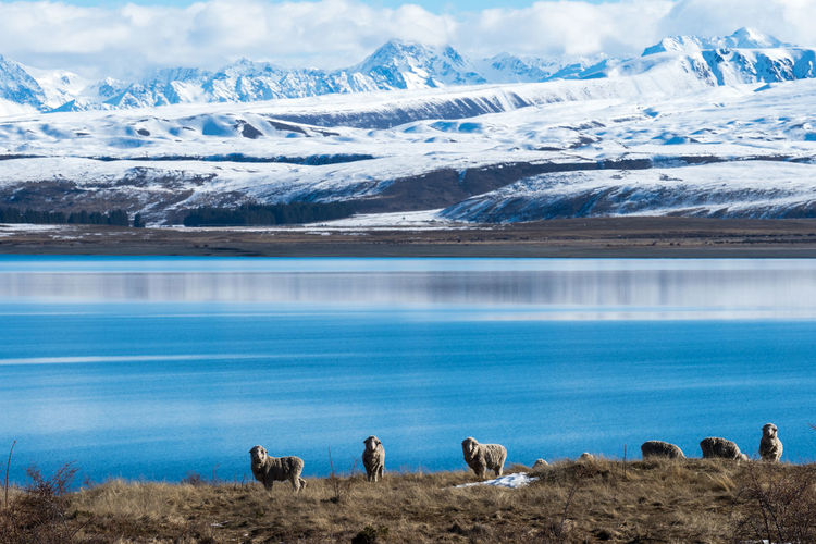 Ice Lake Hayes Lake Tekapo, New Zealand New Zealand Scenery New Zealand Landscape Queenstown Nz Winter Black And White Blue Sky Lake Tekapo Observatory New Zealand Sheep Sheep🐑 That Wanaka Tree